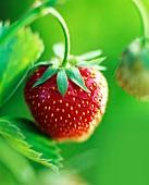 Reife Erdbeere an der Pflanze