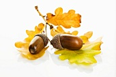 Acorn with oak leaf on white background