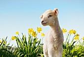 Little lamb in a field of daffodils