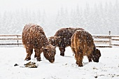 Three Scottish Highland cows in a blizzard