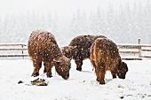 Drei schottische Hochlandrinder im Schneesturm