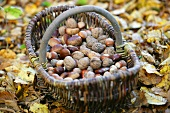 Walnuts, hazelnuts and chestnuts in a basket sitting on autumn leaves