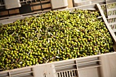 Green Olives in a Large Bin at Olive Oil Manufacturing Facility