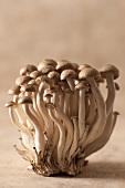 Frische Shimeji-Pilze auf einem hellbraunen Hintergrund