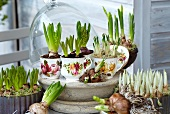Verschiedene Frühlingszwiebelblumen auf der Terrasse