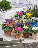 Bunte Frühlingsblumen in Töpfen auf einem Terrassentisch