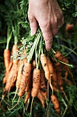 A woman's hand holding a bunch of freshly harvested carrots