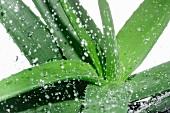 Aloe Vera mit Wassertropfen (Nahaufnahme)