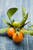 Clementines on the stem with leaves