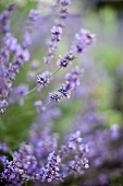 Lavender Blooming Outdoors