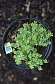 Potted Plant of Lemon Thyme; From Above