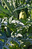 Artichokes on the plant (close-up)