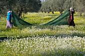 Olivenernte in Tunesien