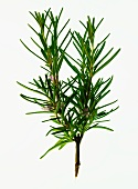 A sprig of fresh rosemary with flowers