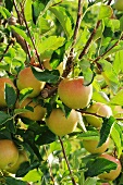 Apples of the variety 'Rubinette', on the tree