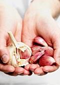 Hände halten Knoblauchknolle und Knoblauchzehen