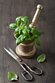 Fresh basil in a brass mortar, and an old pair of scissors