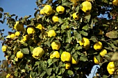 Ripe quinces on a tree