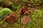 Jelly ear fungus