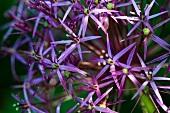 Purple flowers (close-up)