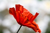 Red poppy (close up)