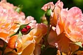 Orange roses in the garden, in bloom and in bud