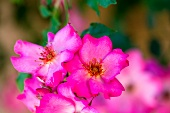 Bright pink wild roses (close-up)