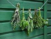 Bunches of herbs hanging in front of a wooden wall