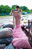 A man pouring wild rose flowers out of a sack