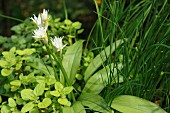 Flowering wild garlic in a herb bed