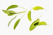 Several fresh sage leaves
