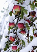 Red apples on a snow-covered tree