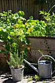 A raised bed with nasturtiums and herbs