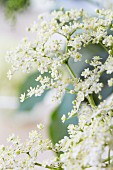 Elderflowers, close-up