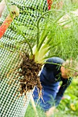 Fennel being harvested in the garden