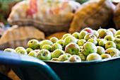 Harvested apples in a wheelbarrow