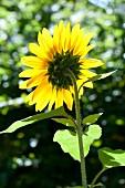 Leuchtend gelbe Sonnenblume