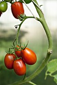 Plum tomatoes on the plant