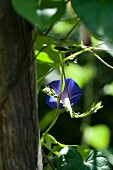 Morning Glory in the sunlight