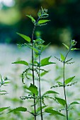 Stinging nettle plants in the park