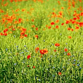 A meadow with red poppies