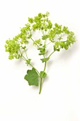 Lady's mantle on a white surface