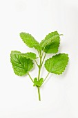 Lemon balm on a white surface