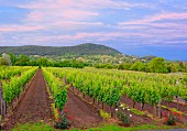 A panoramic view over the wine-growing region of Badacsony, Lake Balaton, Hungary