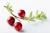 Cranberries mit Zweig vor weißem Hintergrund