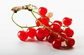 Rote Johannisbeeren am Zweig vor weißem Hintergrund