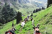 Hoch auf die Alp mit Packziegen im Kanton Glarus