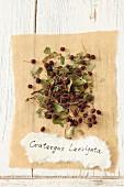 Woodland hawthorn (Crataegus laevigata)