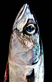Mackerel head