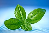 A sprig of basil against a blue background